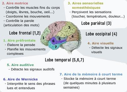 region fonctionnelle cerveau