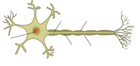 schema de neurone