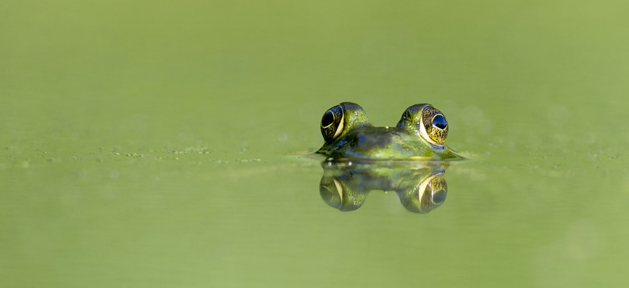 Frog eyes peer over the surface of a small green pond on a summer day.